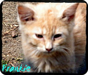 Domestic Shorthair Kitten for adoption in anywhere, New Hampshire - Frankie