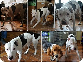 American Pit Bull Terrier Mix Dog for adption in Laval, Quebec - Cali