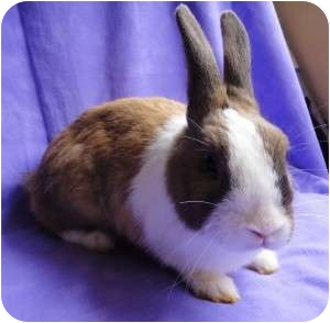 Other/Unknown Mix for Sale in Los Angeles, California - Honey Bunny