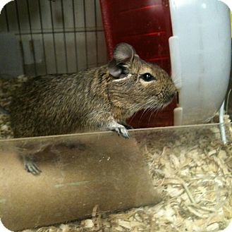 Degu for adoption in Denver, Colorado - Simon