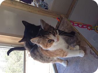 Calico Kitten for Sale in Aiken, South Carolina - Zoey