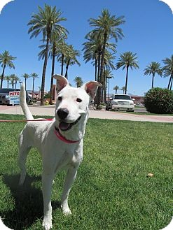 Bull Terrier/Labrador Retriever Mix Dog for Sale in Scottsdale, Arizona - Skittles
