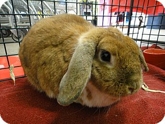 Mini Lop Mix for adoption in Los Angeles, California - Sally