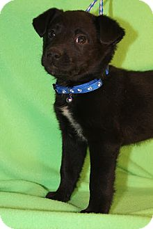 Border Collie/Collie Mix Puppy for Sale in Broomfield, Colorado - Kramer