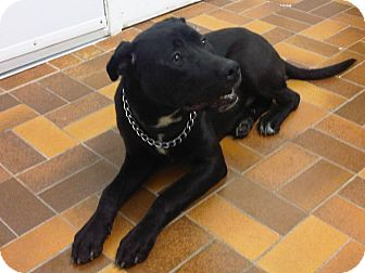 Labrador Retriever/American Pit Bull Terrier Mix Dog for adption in Laval, Quebec - Luka