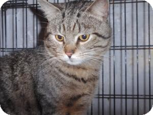 Domestic Shorthair Cat for adoption in East Brunswick, New Jersey - Max