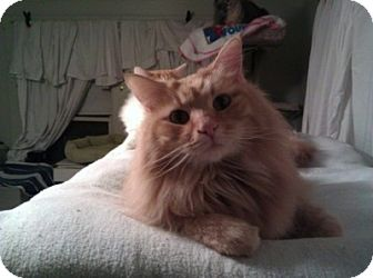 Domestic Longhair Cat for adoption in Lombard, Illinois - Robbie