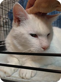 Domestic Shorthair Cat for adoption in Westfield, Massachusetts - Casper