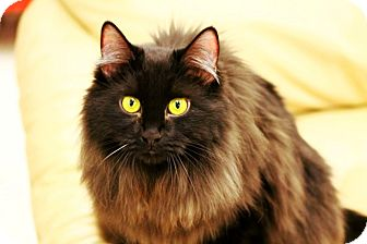 Bombay Cat for Sale in Mesa, Arizona - Tori