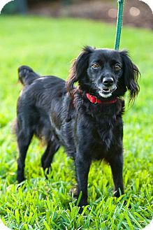 Spaniel (Unknown Type) Mix Dog for adption in Miami, Florida - Nina