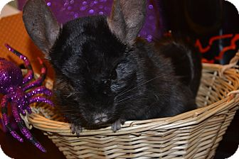 Chinchilla for Sale in Selden, New York - Virgil