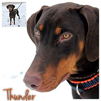 Doberman Pinscher Dog for Sale in Westland, Michigan - Thunder
