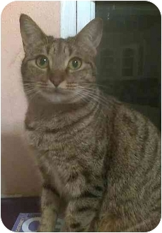 Domestic Shorthair Cat for adoption in Dallas, Texas - Pitty Pat
