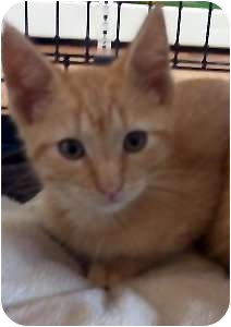Domestic Shorthair Kitten for Sale in Jacksonville, Florida - Reese