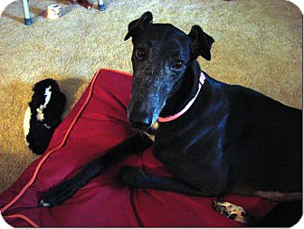 Greyhound Dog for Sale in Longwood, Florida - Bow Puddin