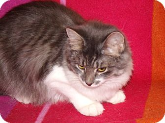 Domestic Mediumhair Kitten for adoption in Scottsdale, Arizona - Liffy
