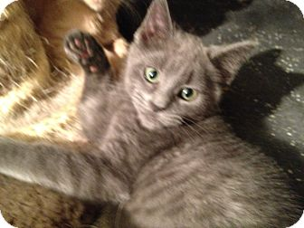 Domestic Mediumhair Kitten for Sale in East Hanover, New Jersey - Twister