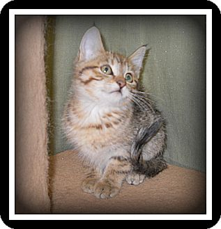 Domestic Shorthair Cat for Sale in Medford, Wisconsin - VANNA