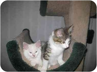 Manx Kitten for Sale in Lethbridge, Alberta - Herbie