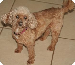 Poodle (Miniature) Mix Dog for adption in Tucson, Arizona - Rudy