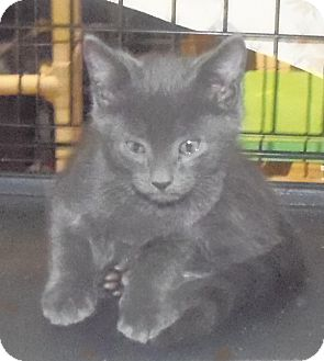 Domestic Shorthair Kitten for Sale in Catasauqua, Pennsylvania - Bode