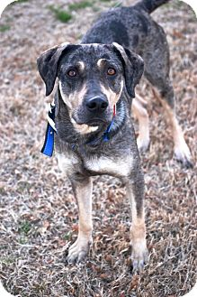 Catahoula Leopard Dog/Labrador Retriever Mix Dog for Sale in Glastonbury, Connecticut - Rosie - meet me -