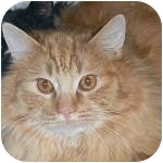 Domestic Longhair Cat for adoption in Ottawa, Ontario - Theo