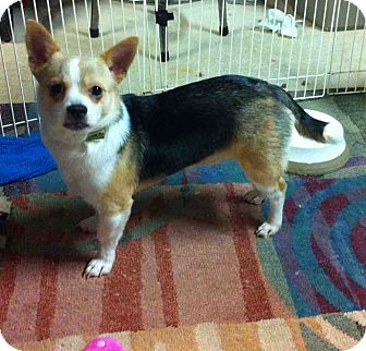 Chihuahua Mix Puppy for adption in Loudonville, New York - Bear