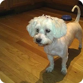 Maltese Mix Dog for Sale in Romeoville, Illinois - *ADOPTED* Lola