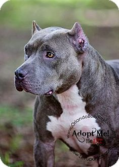 American Pit Bull Terrier Mix Dog for Sale in Orlando, Florida - Nala