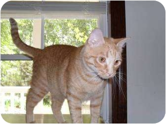 Domestic Shorthair Cat for adoption in Springdale, Arkansas - Tommy