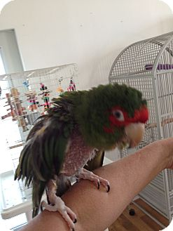 Conure for Sale in Punta Gorda, Florida - Cracker