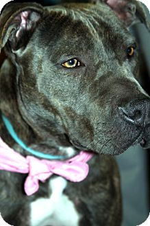 American Pit Bull Terrier/Shar Pei Mix Dog for Sale in San Diego, California - Wiggles