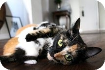 Calico Cat for Sale in Mississauga, Ontario, Ontario - St. Kilda