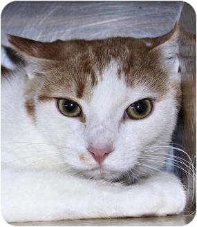 Domestic Shorthair Cat for adoption in Morganton, North Carolina - Maynard