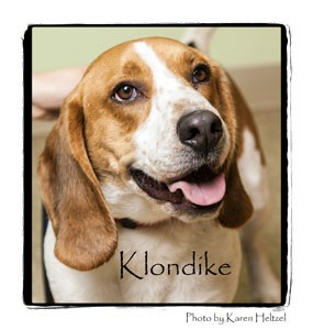 Beagle/Basset Hound Mix Dog for adption in Warren, Pennsylvania - Klondike