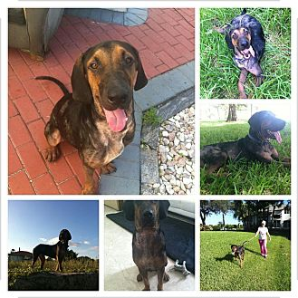 Coonhound Mix Dog for adption in Lighthouse Point, Florida - Moe