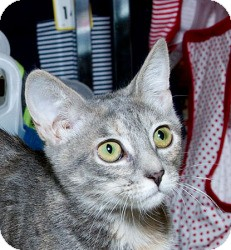 Domestic Shorthair Kitten for adoption in Sacramento, California - Sookie B