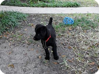 Terrier (Unknown Type, Small) Mix Puppy for Sale in Houston, Texas - Holly