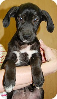 Labrador Retriever Mix Puppy for Sale in Hagerstown, Maryland - Twinkletoes