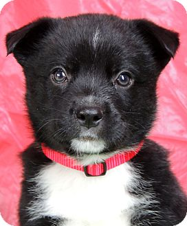 German Shepherd Dog/Border Collie Mix Puppy for Sale in Thousand Oaks, California - Frosty