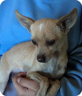 Chihuahua Mix Dog for Sale in San Diego, California - Emmet URGENT