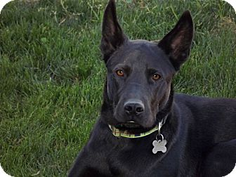 Belgian Malinois/Labrador Retriever Mix Dog for Sale in Phoenix, Arizona - Cooper