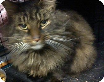 Maine Coon Cat for Sale in Salem, New Hampshire - Olivia