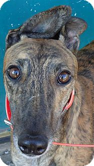 Greyhound Dog for Sale in Longwood, Florida - Pink Zone