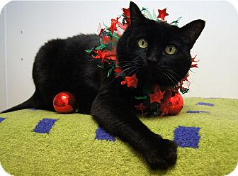 Bombay Cat for Sale in Colorado Springs, Colorado - Lola