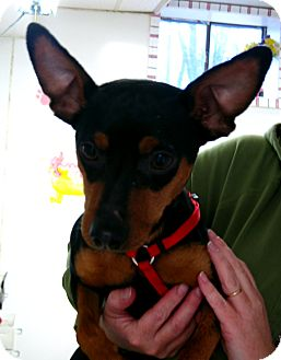 Miniature Pinscher Dog for Sale in Manassas, Virginia - Max