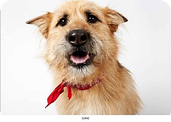 Airedale Terrier Mix Dog for adption in New York, New York - Sophie
