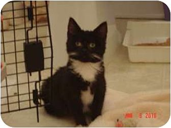 Domestic Shorthair Cat for adoption in Medford, New Jersey - Chantilly