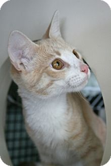 Domestic Shorthair Cat for adoption in Walkersville, Maryland - Marshall and Frost